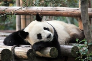 Zoo-Beauval-Panda-450x300
